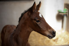 One day old foal Royalty Free Stock Images