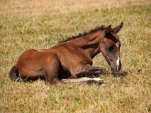 One day old foal lying on meadow Stock Image