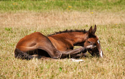 One day old foal lying on meadow Royalty Free Stock Photos