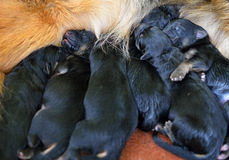 One day old puppies ! royalty free stock photos