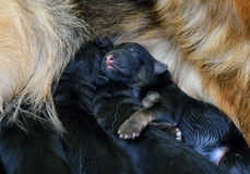 One day old puppy ! Stock Images