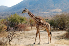 One day of safari in Ruaha National Park - Giraffe Stock Photography