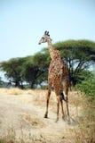One day of Safari in Ruaha Park in Tanzania-Africa Stock Image