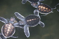 One-day turtles Stock Photo