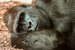One of those days. Soulful gaze of gorilla laying down Stock Photography