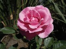Generic beautiful pink flower in sunny day stock photography