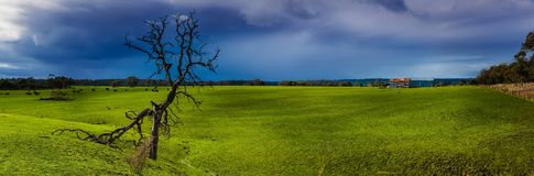 One dead tree in green grass field with rain cloud Royalty Free Stock Images