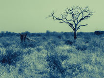 One  dead tree in wide African landscape. Stock Images