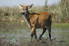 One Deer Royalty Free Stock Image