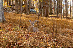 One Deer in the Leaves Stock Photo
