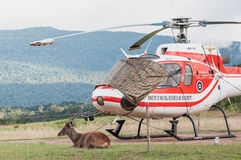 One deer sits beside helicopter in the national park Stock Photo
