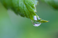 One Dew Drop on a Leaf. Royalty Free Stock Images