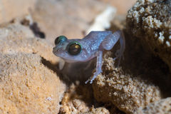 One Dime size cuban cave frog close-up Stock Photo