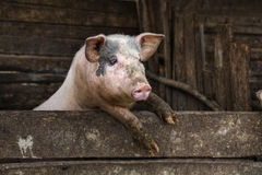 One dirty pig hanging on a fence. Stock Image