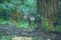 One doe in forest. Stock Photo