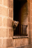 One dog on the balcony in Zaragoza. Small dog is watching from the balcony on street of Zaragoza, Spain Royalty Free Stock Photography