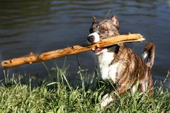 One dog with wood stock on mouth. Cropped ears stock photography
