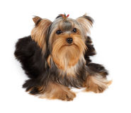 One dog with hairpin Stock Images