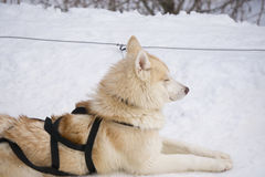 One dog Husky lays on snow alone. Ready for dogsled run Royalty Free Stock Photo