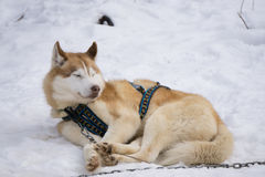 One dog Husky lays on snow alone. Ready for dogsled run Royalty Free Stock Photos