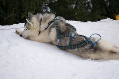 One dog Husky lays on snow alone. Ready for dogsled run Royalty Free Stock Image