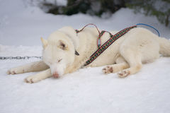 One dog Husky lays on snow alone. One dog Husky white rest on a snow alone ready for dogsled run Royalty Free Stock Photo