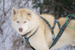 One dog Husky sitting on snow alone. Ready for dogsled run Royalty Free Stock Image