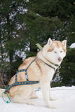 One dog Husky sitting on snow alone. Ready for dogsled run Stock Image