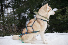 One dog Husky sitting on snow alone. Ready for dogsled run Stock Photography