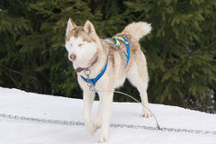 One dog Husky sitting on snow alone. Ready for dogsled run Royalty Free Stock Images