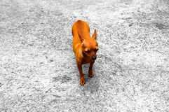 One dog. One Pinscher. Stock Photography