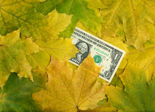 One dollar in autumn maple leaves Stock Photos