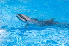 One dolphin looking out of the blue water close up royalty free stock images