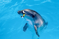 One dolphin in the pool playing with ring Royalty Free Stock Photos