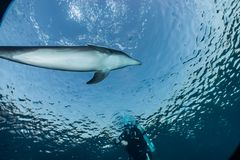 Dolphins swimming in the Red Sea, Eilat Israel. One Dolphin swimming with divers in the Red Sea, a.e stock photos
