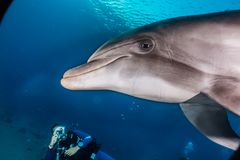 Dolphins swimming in the Red Sea, Eilat Israel. One Dolphin swimming with divers in the Red Sea, a.e stock photography