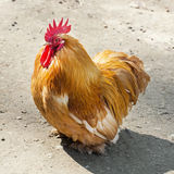 One Domestic fowl (Gallus gallus domesticus). Portrait of a one Domestic fowl (Gallus gallus domesticus stock images
