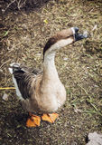 One domestic goose on the farmyard Royalty Free Stock Photography