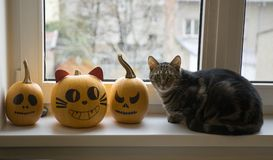 One domestic tomcat sitting on windowsill and waiting for halloween celebration with two winter pumpkins Royalty Free Stock Photos