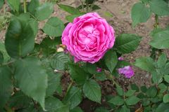 One double flowered pink rose. From above Stock Images