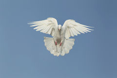 One Dove Royalty Free Stock Image