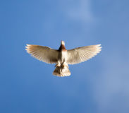 One dove flies against the blue sky Royalty Free Stock Photography