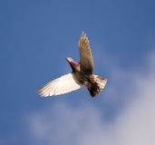 One dove flies against the blue sky Stock Image