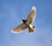 One dove flies against the blue sky Royalty Free Stock Image