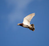 One dove flies against the blue sky Royalty Free Stock Photos