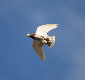 One dove flies against the blue sky Stock Images