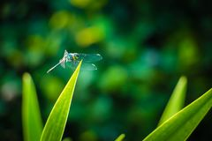 Dragonfly grasshopper leaves with green background blurred Royalty Free Stock Photo