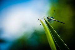 Dragonfly grasshopper leaves with green background blurred Stock Photo