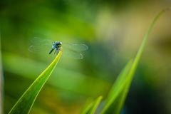 Dragonfly grasshopper leaves with green background blurred Stock Images