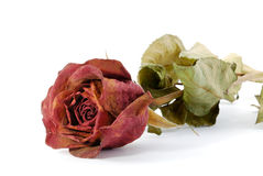 One dried up rose. One dried up beautiful red rose isolated on the white Royalty Free Stock Photo
